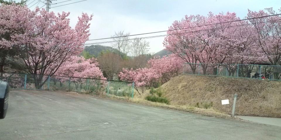 右左口の里入り口の桜。
